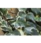 GARTENKRONE Efeu, Hedera helix »Little Diamond«, winterhart-Thumbnail