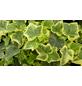Efeu, helix Hedera »Gold Child«, Blätter: zweifarbig, Ø Topf: 9  cm-Thumbnail
