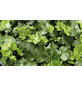 Efeu helix Hedera »Green Ripple«-Thumbnail
