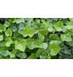 Efeu helix Hedera »Hibernica«-Thumbnail