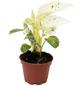 Efeutute, Epipremnum pinnatum, im Kunststoff-Kulturtopf-Thumbnail