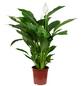Einblatt Spathiphyllum Lauretta »Lauretta«-Thumbnail