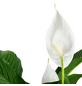 Einblatt, Spathiphyllum Lauretta »Lauretta«, im Kunststoff-Kulturtopf-Thumbnail