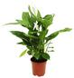 Einblatt Spathiphyllum wallisii »Cupido«-Thumbnail