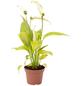 Einblatt, Spathiphyllum »Yess«, Blütenfarbe: weiß-Thumbnail
