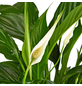 GARTENKRONE Einblatt, Spatiphyllum wallisii, Blüte: weiß-Thumbnail