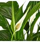 GARTENKRONE Einblatt »Spatiphyllum Wallisii«, Weiß-Thumbnail