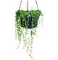 Erbsenpflanze Senecio rowleyanus-Thumbnail