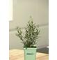 GREENBAR Estragon 3er Set, Artemisia Dracunculus, Blütenfarbe: gelb-Thumbnail