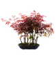 Fächerahorn, Acer palmatum »Atropurpureum«, Blütenfarbe rot-Thumbnail