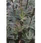 Fächerahorn, Acer palmatum »Butterfly«, Blattfarbe mehrfarbig-Thumbnail