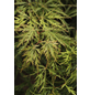 Fächerahorn, Acer palmatum »Dissectum«, Blattfarbe mehrfarbig-Thumbnail