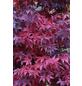 Fächerahorn, Acer palmatum »in Sorten «, Blattfarbe mehrfarbig-Thumbnail
