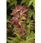 Fächerahorn, Acer palmatum »Orange dream«, Blattfarbe mehrfarbig-Thumbnail
