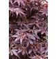 Fächerahorn, Acer palmatum »Pixie«, Blattfarbe rot-Thumbnail