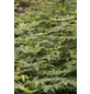 Fächerahorn, Acer palmatum »Sangokaku«, Blattfarbe mehrfarbig-Thumbnail