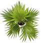 Fächerpalme Livistona rotundifolia-Thumbnail
