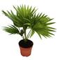 Fächerpalme, rotundifolia Livistona, Topf-Ø: 12cm-Thumbnail