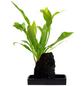 flowerbox Farn, Diversifolium ,-Thumbnail