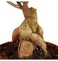 GARTENKRONE Feigen-Bonsai, Ficus microcarpa »Ginseng«, im Kunststoff-Kulturtopf-Thumbnail