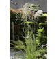 Feinhalm Chinaschilf sinensis Miscanthus »Graziella«-Thumbnail