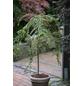 Felsen-Zwergmispel 'Boer' Cotoneaster praecox »Boer«-Thumbnail