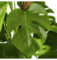 GARTENKRONE Fensterblatt Monstera deliciosa-Thumbnail