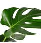 Fensterblatt, Monstera deliciosa, im Kunststoff-Kulturtopf-Thumbnail