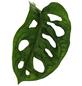 Fensterblatt, obliqua Monstera »Monkey Mask«, Topf-Ø: 12cm-Thumbnail