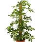 GARTENKRONE Fingeraralie, Strahlenaralie Schefflera arboricola-Thumbnail