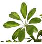 GARTENKRONE Fingeraralie, Strahlenaralie, Schefflera Arboricola-Thumbnail