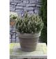 Flachwachsende Zwerg-Kiefer mugo Pinus »Humpy«-Thumbnail