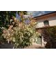GARTENKRONE Flamingoahorn, Acer negundo »Flamingo«, winterhart-Thumbnail