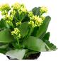 GARTENKRONE Flammendes Käthchen, Kalanchoe blossfeldiana, Blüte: gelb-Thumbnail
