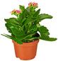GARTENKRONE Flammendes Käthchen, Kalanchoe blossfeldiana, Blüte: rosa/pink-Thumbnail