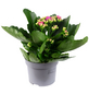 GARTENKRONE Flammendes Käthchen, Kalanchoe blossfeldiana, Blüte: violett-Thumbnail