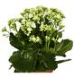 GARTENKRONE Flammendes Käthchen, Kalanchoe blossfeldiana, Blüte: weiß-Thumbnail