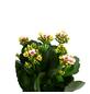 Flammendes Käthchen, Kalanchoe blossfeldiana, Blütenfarbe: mehrfarbig-Thumbnail