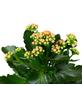 Flammendes Käthchen, Kalanchoe blossfeldiana, Blütenfarbe: orange-Thumbnail