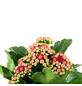 Flammendes Käthchen, Kalanchoe blossfeldiana, Blütenfarbe: rot-Thumbnail