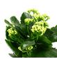 Flammendes Käthchen, Kalanchoe blossfeldiana, Blütenfarbe: weiß-Thumbnail
