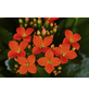 GARTENKRONE Flammendes Käthchen Kalanchoe blossfeldiana orange-Thumbnail