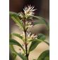 Fleischbeere, Sarcococca humilis »Winter Gem«, Blütenfarbe weiß-Thumbnail