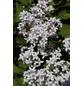 Flieder, Syringa »Flowerfest White«, Blütenfarbe weiß-Thumbnail