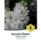 Flieder, Syringa josiflexa »Agnes Smith«, Blütenfarbe weiß-Thumbnail