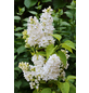 Flieder, Syringa vulgaris »Mme. Florent Stepman«, weiß, Höhe: 40 - 60 cm-Thumbnail