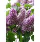 Flieder, Syringa vulgaris »Sensation«, Blütenfarbe lila-Thumbnail