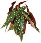 Forellenbegonie, Begonia maculata, Blüte: weiß-Thumbnail
