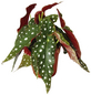 EXOTENHERZ Forellenbegonie, Begonia maculata, Blütenfarbe: weiß-Thumbnail