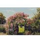 KOMAR Foto-Papiertapete »Rose Garden«, Breite 368 cm, inkl. Kleister-Thumbnail